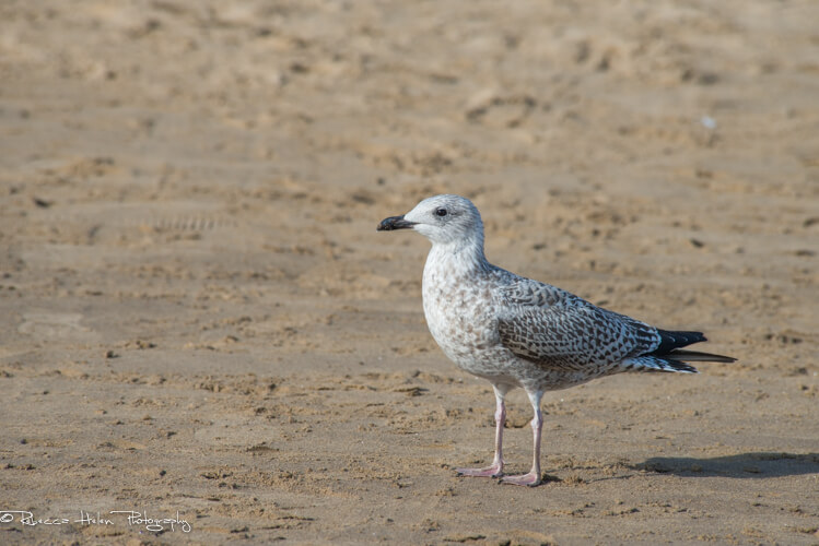 Rebecca Helen Photography herring gull in Scarborough