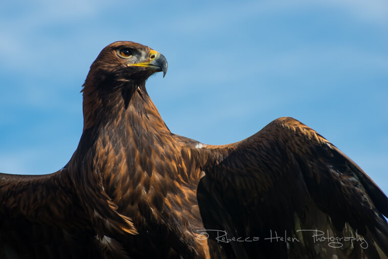 Golden eagle stretches its wings