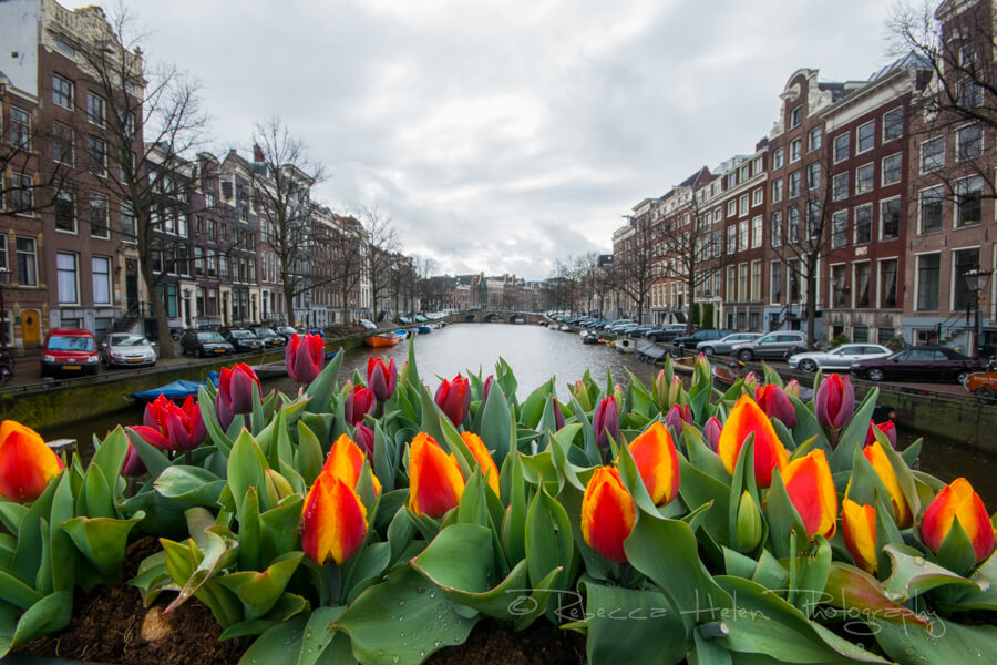 Tulips over the canals of Amsterdam