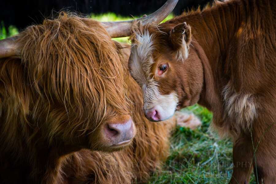 Female and baby Highland cattle (Bos taurus) nuzzle in the Cairngorms, Scotland