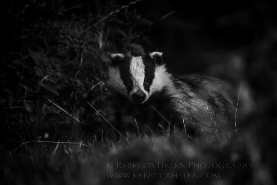 A European badger (Meles meles) appears in the night in the Cairngorms, Scotland