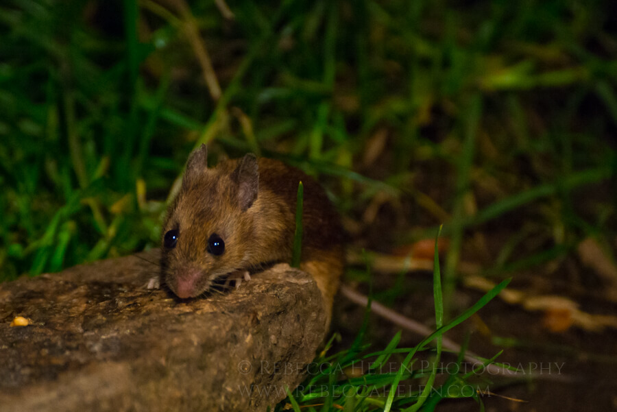A wood mouse (Apodemus sylvaticus) searches for food in the Cairngorms, Scotland