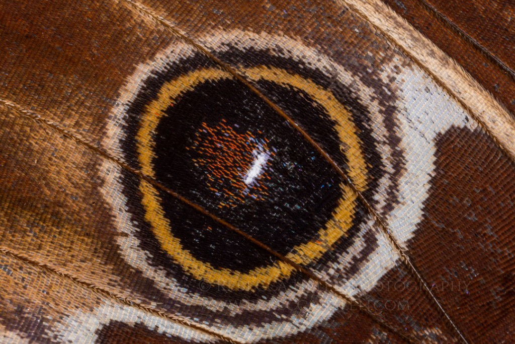 Butterfly Eyespot