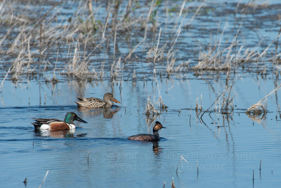 Male and female Northern Shoveler and Eared Grebe