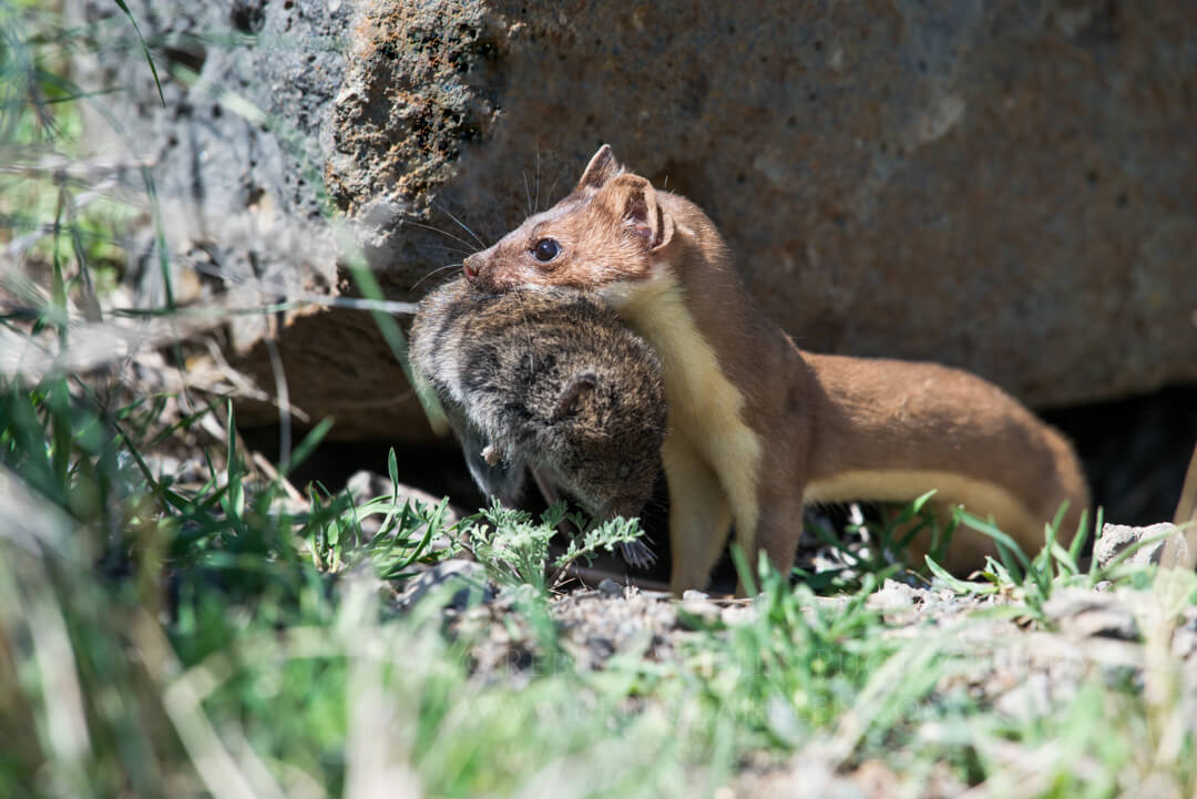 Long-tailed weasel with montane vole