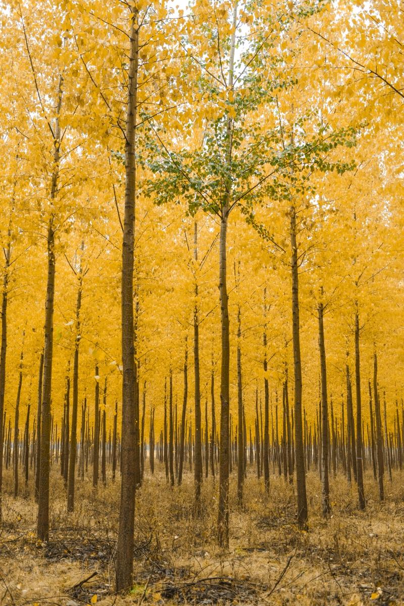 Color isolation in Autumn at Boardman Tree Farm, Oregon © Rebecca Helen Tribelhorn Photography